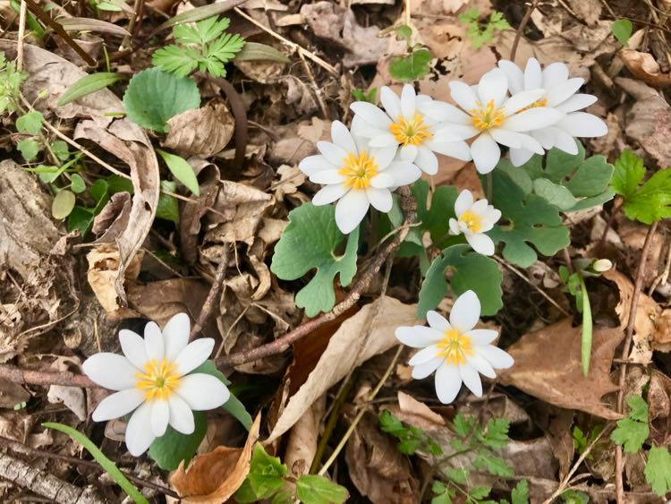 A cluster of Bloodroot at Riverbend Park