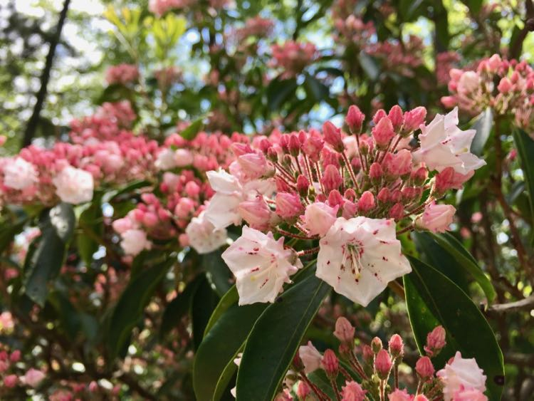 Mountain Laurel on Sugarloaf Mountain in Maryland