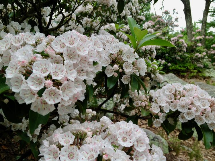 Mountain Laurel in bloom on Sugarloaf Mountain