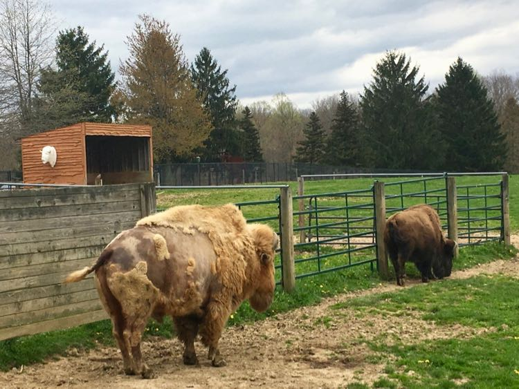 Lightning, the white buffalo, and his companion Thunder at Nemacolin PA