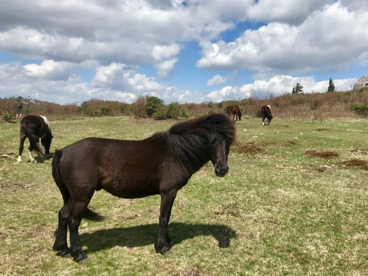 Hike with wild ponies at Grayson Highlands State Park SWVA