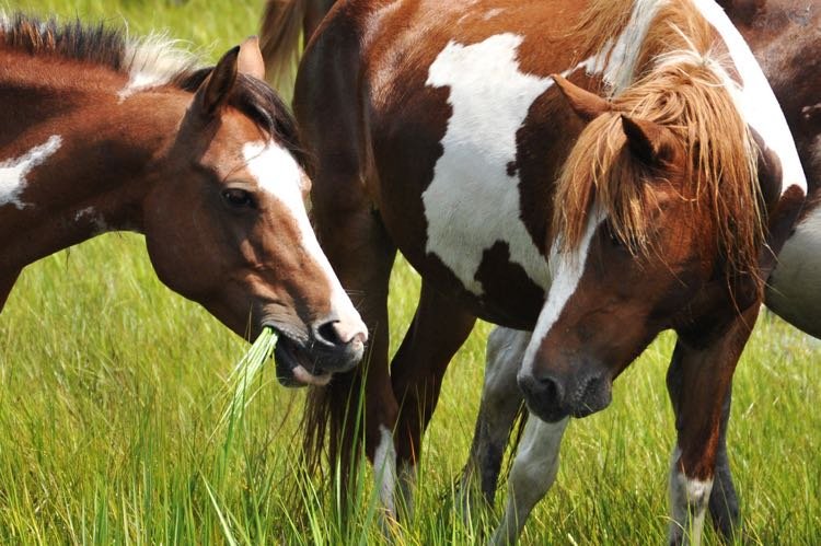 Wild Ponies on the Eastern Shore of Virginia; photo courtesy Chincoteague Chamber of Commerce