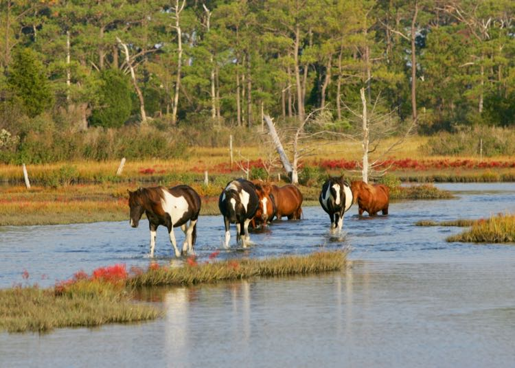 Chincoteague ponies in water, photo courtesy Chincoteague Chamber of Commerce