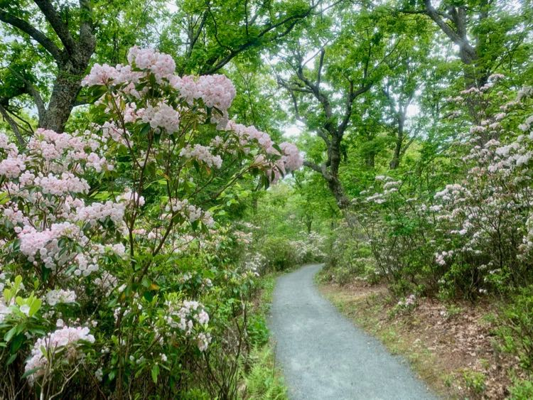 Mountain Laurel on the Limberlost Trail in June, Shenandoah NP