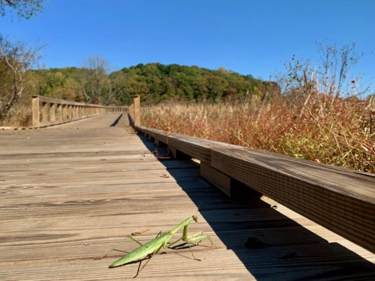 Praying mantis on the boardwalk