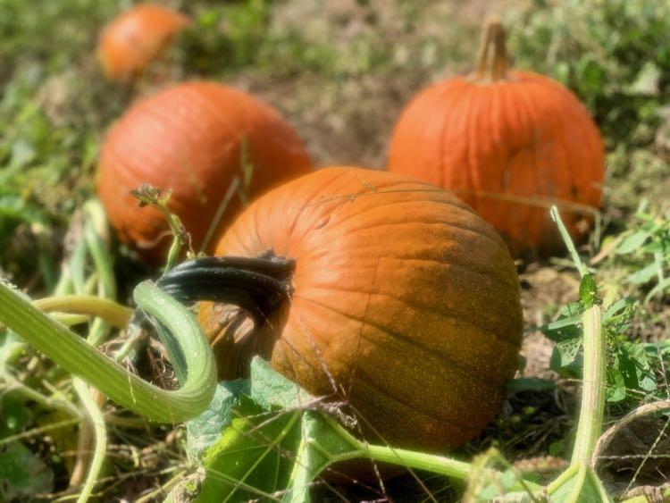 Pumpkin patch at Hartland Orchard Northern VA