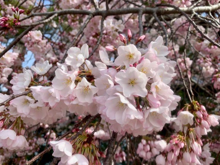 2020 cherry blossom closeup
