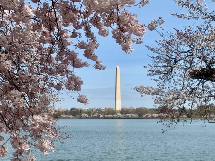2020 cherry blossoms and Washington Monument DC