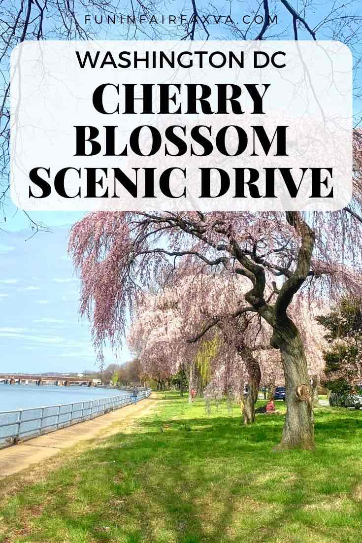 Washington DC cherry blossom scenic drive for close-up views of cherry tree blooms from the comfort of your car.