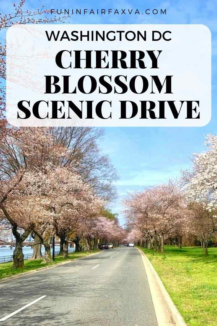 This cherry blossom scenic drive offers close-up views of the Washington DC blooms around and near the Tidal Basin from the comfort of your car.
