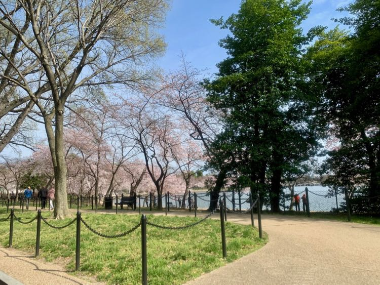View of cherry trees from East Basin Drive