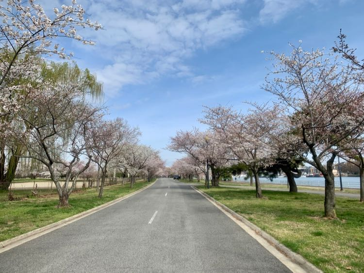 East Potomac Park cherry blossom scenic drive