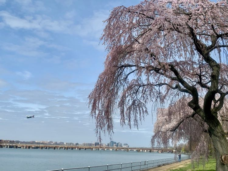 Plane over Potomac River and cherry blossoms from East Potomac Park