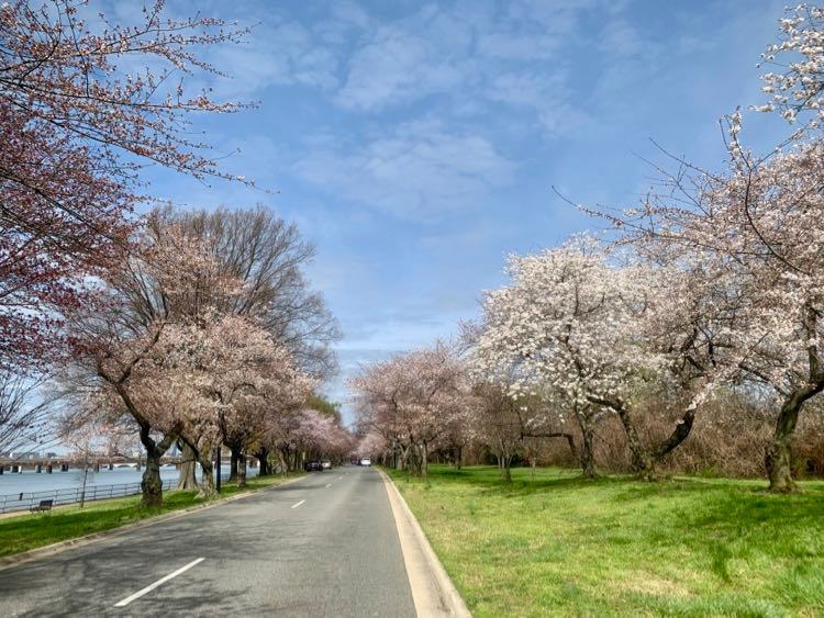 Cherry blossom scenic drive in Washington DC East Potomac Park