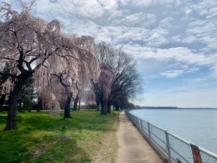 East Potomac Park cherry blossoms 2020