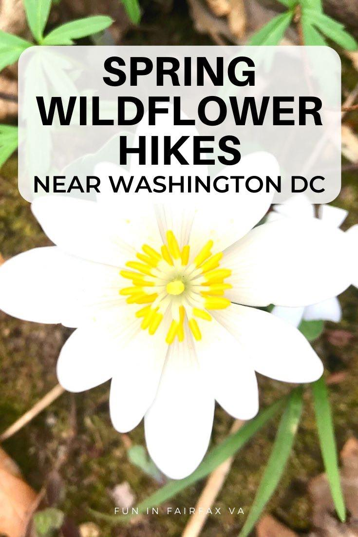Guide to Spring wildflower hikes near Washington DC for nature lovers and family fun.