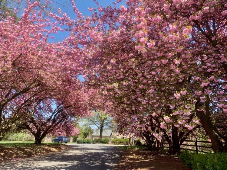 Ad Hoc Road cherry trees in Great Falls VA