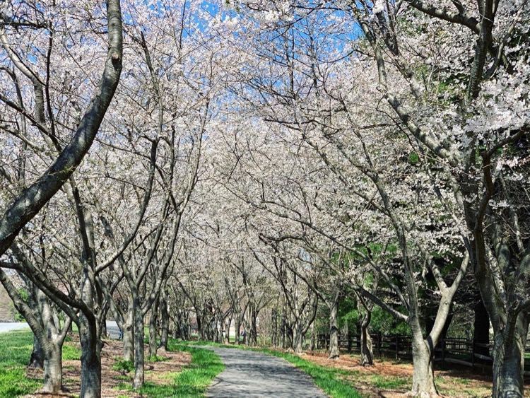 Cherry blossom tree tunnel on Weihle Ave in Reston VA