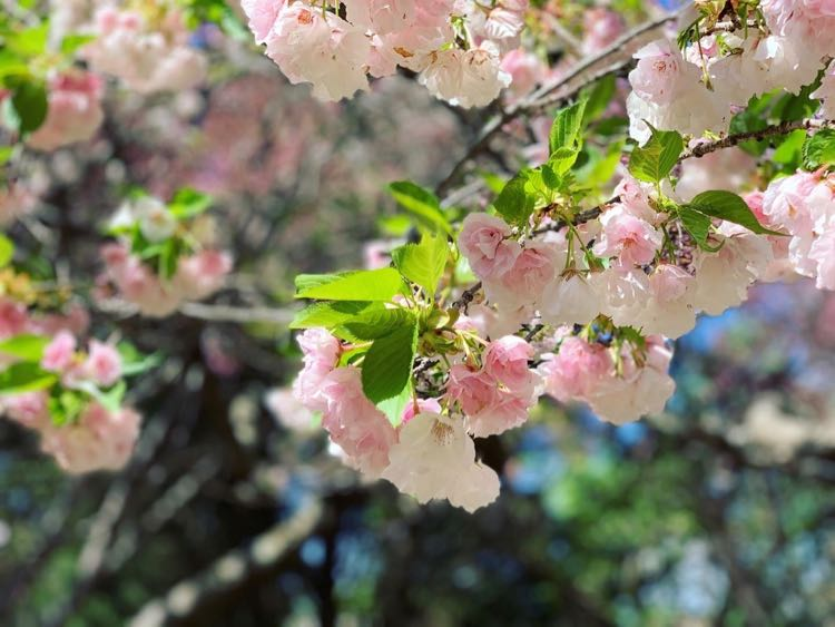Late-blooming cherry blossoms on Connector Trail