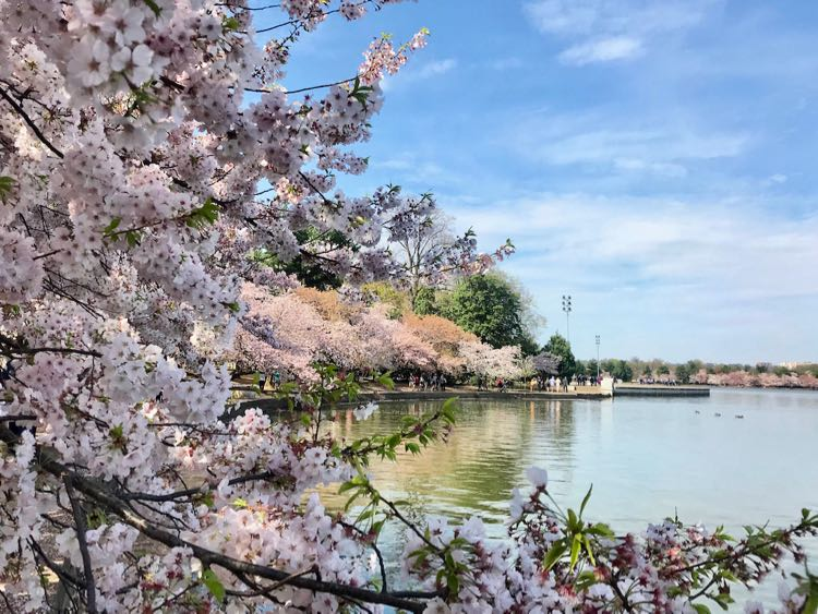 Tidal Basin cherry blossoms in 2019
