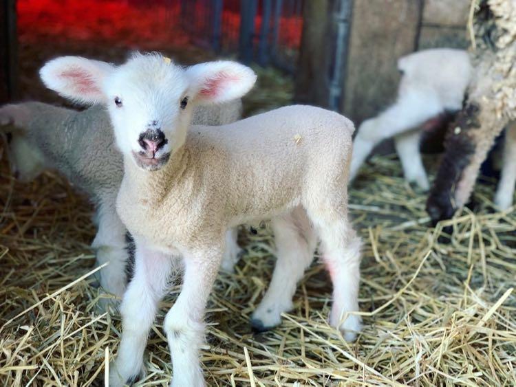 Baby lamb at Frying Pan Farm Park in Northern Virginia