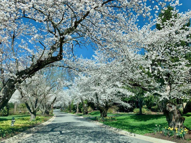 Cherry blossoms in Bethesda Maryland