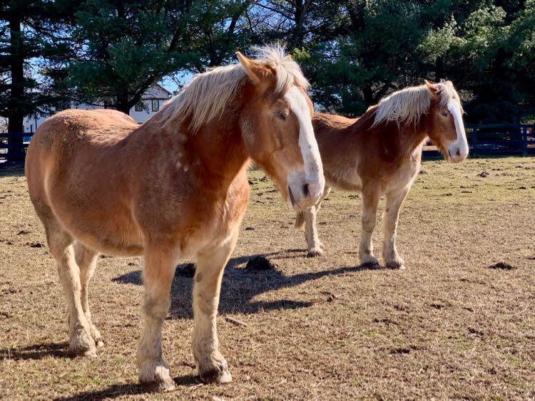 Draft horses at Frying Pan Park