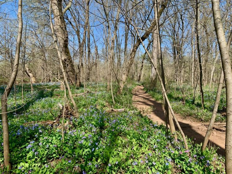 Beautiful Bluebell Trail hike in Northern VA