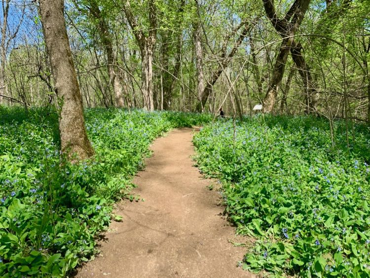 Bluebell-lined Ridge to River Trail in Bluemont