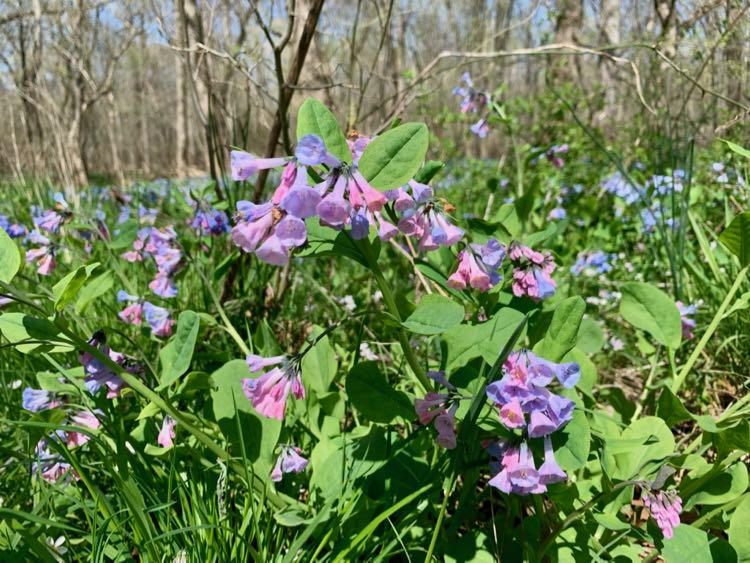 Pink and blue bluebell blossoms