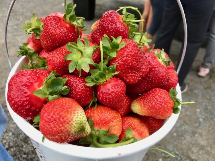 Strawberry picking in Virginia at u-pick farms near Washington DC