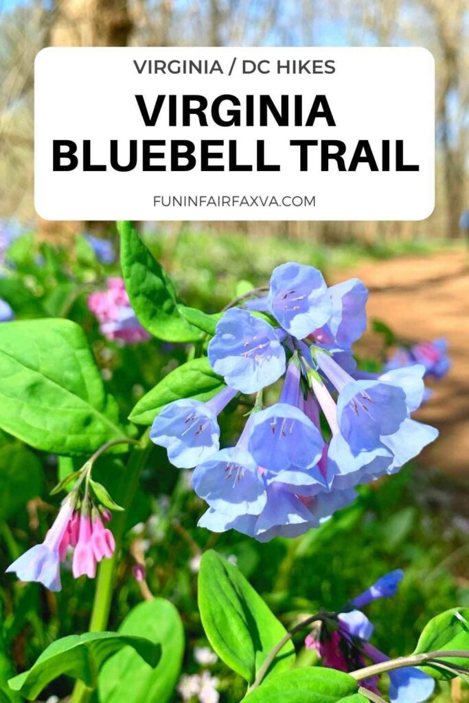 Enjoy a beautiful, easy loop hike through a sea of spring wildflowers on the Virginia Bluebell Trail at Bull Run Regional Park in Northern VA.
