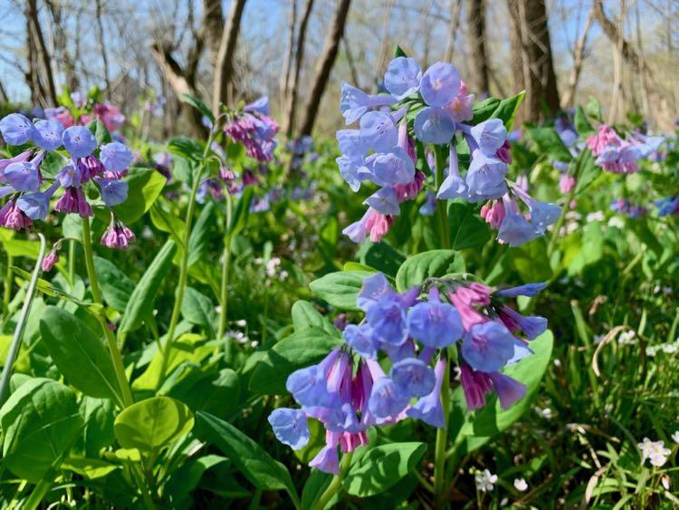 Virginia bluebells at Bull Run