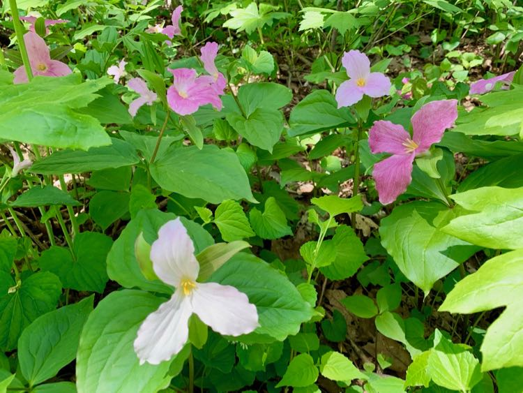 Stunning Trillium Trail Hike for Virginia Nature Lovers