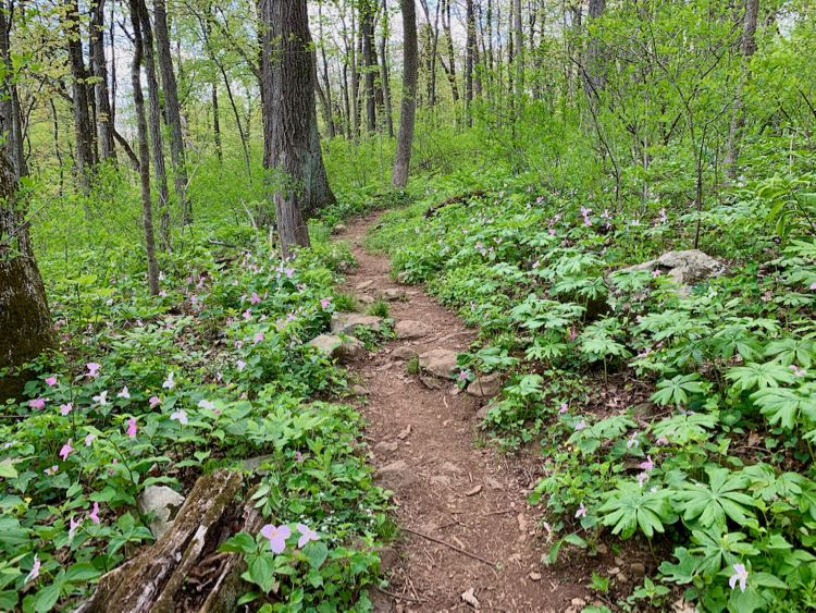 Spring wildflowers by the Trillium Trail