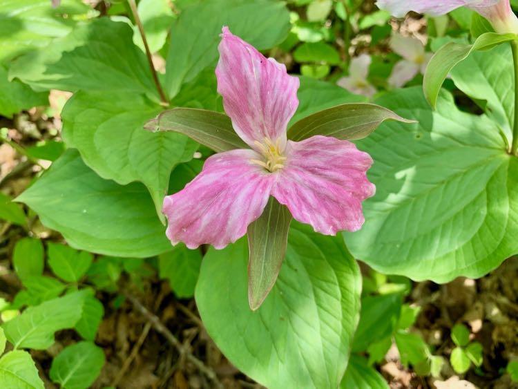 Perfect pink trillium