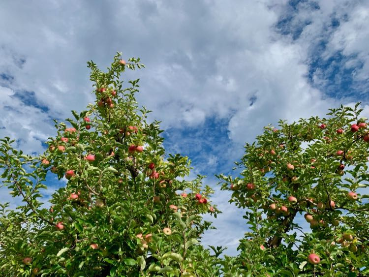Orchards ready for apple picking in Virginia